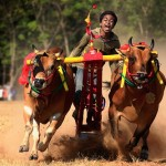 Karapan Sapi – The Traditional Festival of Cow Racing