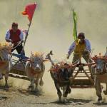 Makepung Bull Race – Jembrana