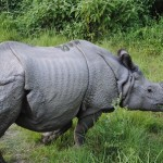 Meet The Unique One Horned Rhino At Ujung Kulon