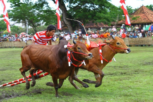 Cow Racing Event