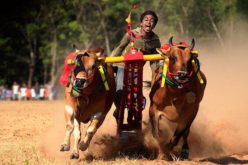 Karapan Sapi Madura (Race Cow)