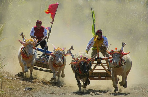 Makepung Bulls Race (Traditional Compete)