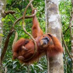 Real Life of Orang Utan at Tanjung Puting